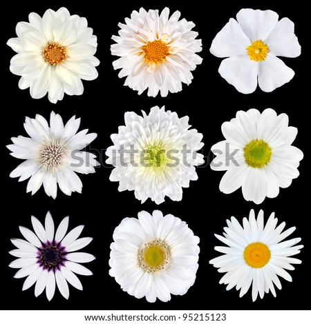 Various Selection of White Flowers Isolated on Black Background. Set of Nine Daisy, Gerber, Marigold, Osteospermum, Chrysanthemum, Strawflower, Cornflower, Dahlia Flowers