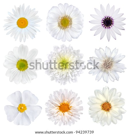 Various Selection of White Flowers Isolated on White Background. Set of Nine Daisy, Gerber, Marigold, Osteospermum, Chrysanthemum, Strawflower, Cornflower, Dahlia Flowers