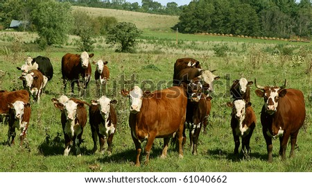 various sizes of hereford cows standing in a pasture