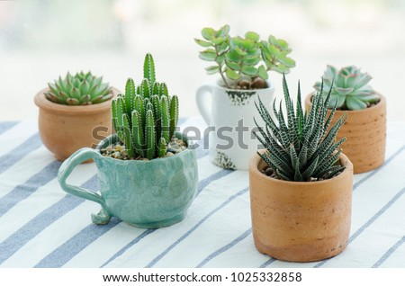 Various types of mini cactus,zebra plant ,echeveria kalanchoe succulent house plants clay pots on striped table clothes background #1025332858