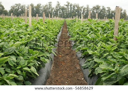various views of bell peppers growing in a field or plantation