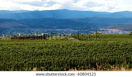 Vast apple orchards of Okanagan valley in Kelowna British Columbia Canada