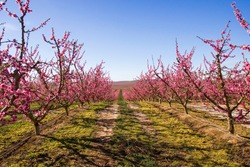 Vast pink fields of flowering peach trees. Spectacular colored blossoming in the early spring under blue clouds. First signs of spring in Spain. Aitona Lerida Lleida.