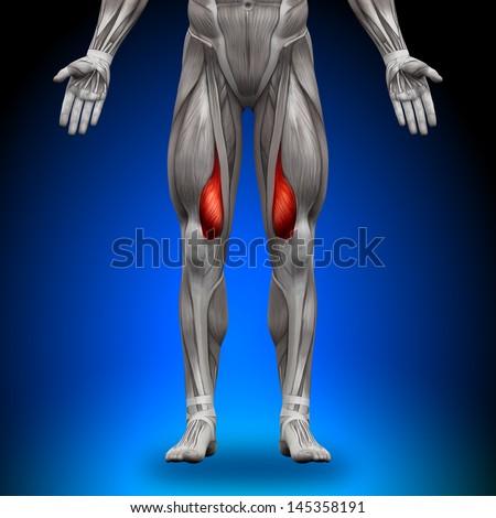 Vastus Medialis Anatomy Muscles