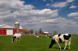 Vaughan, Ontario, Canada, Herd of Holstein dairy cows in a farm pasture with a large red barn