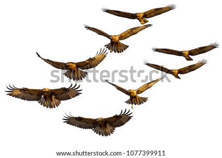 Vector bird of prey. Flying birds. Vector birds image - Shutterstock ID 1077399911