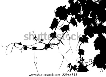 grape vine clipart. Vector grape vine on white