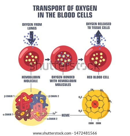 Vector Science medical icon blood hemoglobin molecule. Image oxygen transport in blood cell. Poster Illustration structure of hemoglobin in flat style