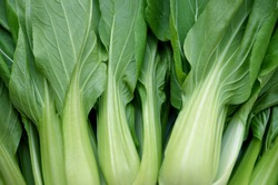 Vegetable, Delicious Fresh Green Bok Choy, Pok Choi or Pak Choi close up.