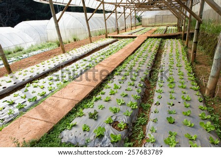 vegetable farm, indoor cabbage and salad vegetable farm in Thailand #257683789
