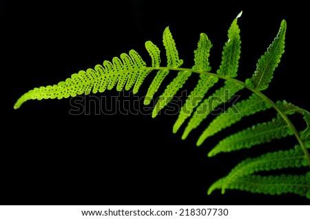 Vegetable fern, Diplazium sp., Family Athyriaceae, Central of Thailand