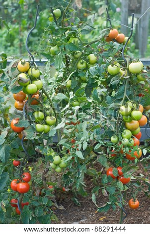 Vegetable Garden with Fresh and Nutritious Tomatoes