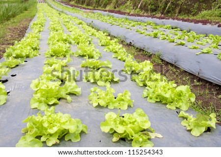 Vegetable garden ,with plastic film protected in land,The plastic film used vegetable insulation and prevent soil erosion - stock photo