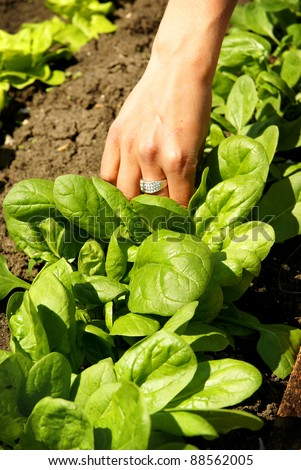 Vegetable growing, picking green spinach