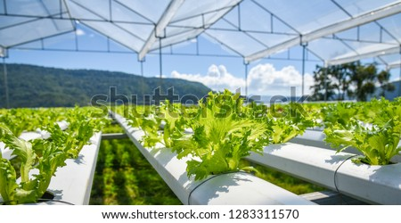 vegetable hydroponic system / young and fresh Frillice Iceberg salad growing garden hydroponic farm plants on water without soil agriculture in the greenhouse organic for health food