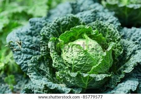 vegetable in field