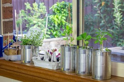 vegetable seedlings growing in reuse tin cans on window ledge, raised garden behind. Self sufficiency at home, save money, recycle, reuse to reduce waste and grow your own food.