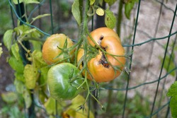 Vegetable, Vertex Rot young tomatoes plant problems  and sickness with background green leaves. This is sickness physiological disorder caused by irregular watering.