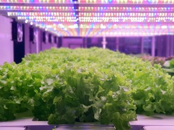 Vegetables are growing in indoor farm/vertical farm. Plants on vertical farms grow with led lights. Vertical farming is sustainable agriculture for future food.