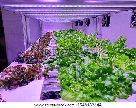 Vegetables are growing in indoor farm/vertical farm. Vertical farming is sustainable agriculture for future food.