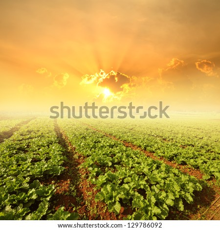 Vegetables fields and Sunset