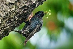Vegetables in the bill. Starling spring nesting in tree nest hole. European Starling, Sturnus vulgaris, dark bird in beautiful plumage with food, animal in the nature habitat in the nature, Germany.