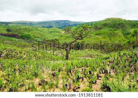 Vegetation of the Brazilian Cerrado on the hills of Capitólio, Minas Gerais state. Canela de Ema plants, native plant of Cerrado. Foto stock ©