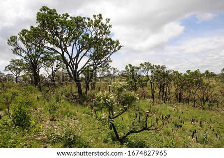 Vegetation of the Cerrado in the south of the state of Minas Gerais, Brazil Foto stock ©