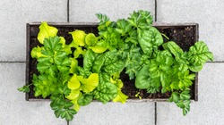 Veggie planter filled with lettuce, spinach and celery. Top view of raised garden bed using interplanting or intercropping planting method. Urban gardening in small spaces like a patio or balcony.