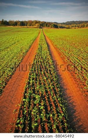 vehicle tracks through new crop in field on farm