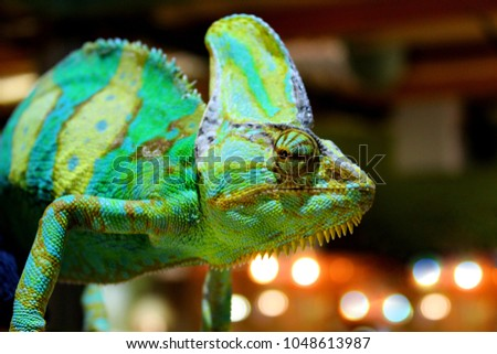Veiled chameleon (chamaeleo calyptratus)  close-up in zoo. Madagascar endemic Panther chameleon macro eye & head. Colorful Lizard panther chameleon skin green, brown, yellow, blue, golden with bokeh #1048613987
