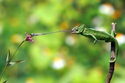 Veiled Chameleon (Chamaeleo calyptratus) eat his prey