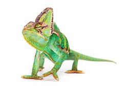 Veiled chameleon (chamaeleo calyptratus) isolated on white background.