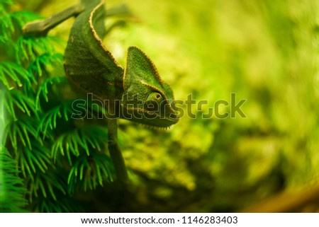 Veiled chameleon close up, shallow dof.Chameleons or chamaeleons-family Chamaeleonidae-are a distinctive and highly specialized clade of Old World lizards with 202 species described as of June 2015