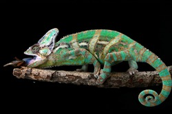 Veiled chameleon on branch with black background, beautiful of chameleon veiled, Chameleon catching insect
