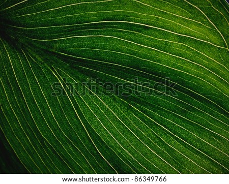 Veins of a Flowering Dogwood Leaf. Close up