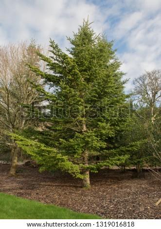 Veitch's Fir (Abies veitchii) in a Park in Rural Devon, England, UK Zdjęcia stock ©