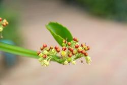 Veld grape (Cissus quadrangularis) in the herb garden