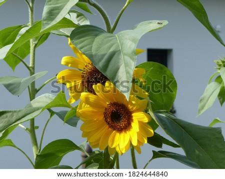 velké žluté slunečnice se zelenými listy Zdjęcia stock ©