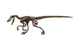 Velociraptor fossil skeleton is carnivore dinosaur lived on cretaceous period isolated on white background.