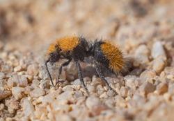 Velvet ant (wingless wasp female) macro shot