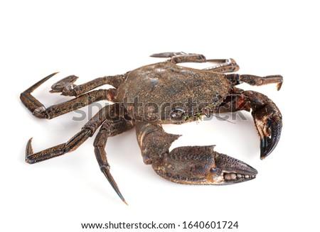 Velvet crab in front of white background Stockfoto ©