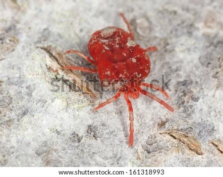 Velvet mite, trombidium on wood, extreme close-up