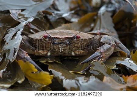 Velvet Swimming Crab (Necora puber) Stockfoto ©