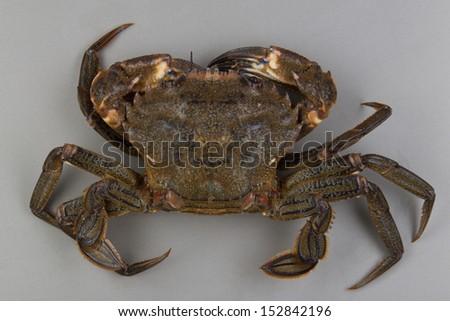 Velvet swimming crab, Necora puber Stockfoto ©