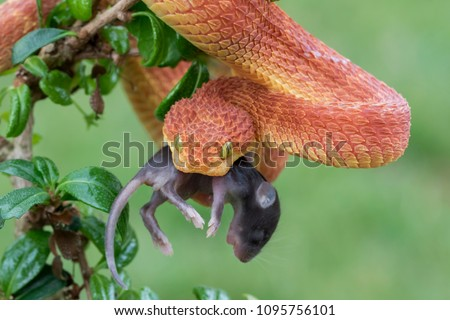 Venomous Bush Viper (Atheris squamigera) eating rodent #1095756101