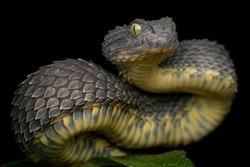 Venomous Bush Viper Snake coiled to strike (Atheris squamigera)