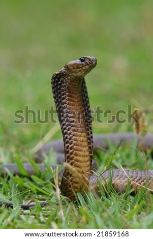 Venomous cape cobra snake with it's hood spread
