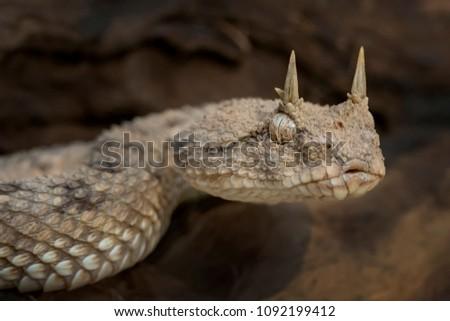 Venomous Desert Horned Viper Snake (Cerastes cerastes) ready to strike