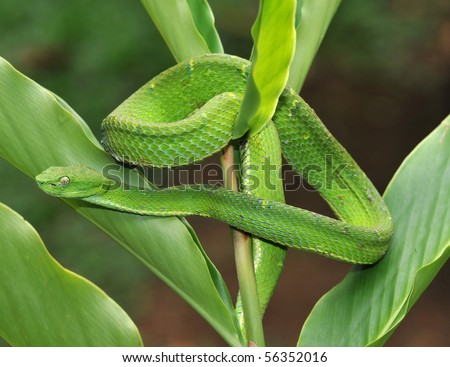 venomous green tree pit viper camouflaged on plant, arena, costa rica, latin america, deadly snake